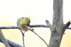 Goldfinch. Sitting on a branch with a dreamy blurred creamy pastel background Stock Photos