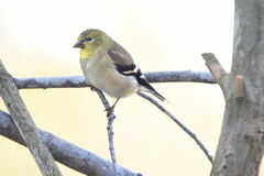 Goldfinch. Sitting on a branch with a dreamy blurred creamy pastel background Stock Image