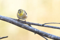 Goldfinch. Sitting on a branch with a dreamy blurred creamy pastel background Stock Photo