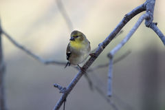 Goldfinch. Sitting on a branch with a dreamy blurred creamy pastel background Royalty Free Stock Photo