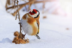 Goldfinch sitting on a burdock funny moment with sunny hotspot Stock Photography