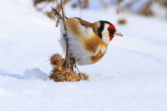 Goldfinch sitting on a burdock lowered him to the ground Royalty Free Stock Images