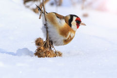 Goldfinch sitting on a burdock lowered him to the ground with sunny hotspot Royalty Free Stock Photography