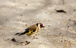 Goldfinch Stock Photo