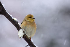 Goldfinch in snow Royalty Free Stock Photo