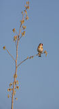 Goldfinch during spring Royalty Free Stock Photos