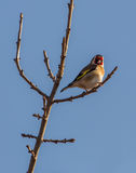 Goldfinch on sprouting branch Stock Photography