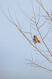 Goldfinch on a sprouting tree Stock Photography