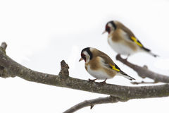 Goldfinch standing on a branch, France Royalty Free Stock Images