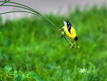 Goldfinch on a Stem in High Dynamic Range Stock Images