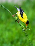 Goldfinch on a Stem in High Dynamic Range. This Goldfinch stretched big for a bite to eat in High Dynamic Range stock photography