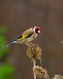 Goldfinch sul vecchio cardo Immagine Stock