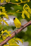 Goldfinch on Sunburst Locust. A pretty male Goldfinch sitting on a branch royalty free stock image