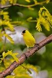 Goldfinch on Sunburst Locust Royalty Free Stock Image