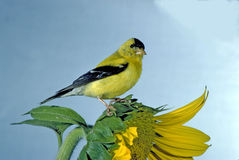 Goldfinch on sunflower. Taken in the back garden Stock Photos