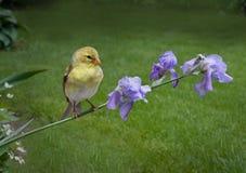 Goldfinch sur des iris Photographie stock libre de droits
