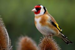 Goldfinch sur la cardère Photos stock