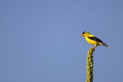 Goldfinch sur la perche Photos stock
