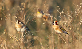 Goldfinch in tall grass. Details of several goldfinch perched in tall grass.  Species:  Carduelis carduelis Stock Photo