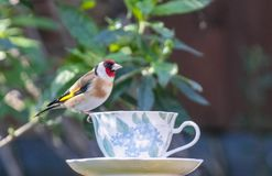 Goldfinch on a teacup royalty free stock photography