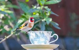 Goldfinch on a teacup stock photo