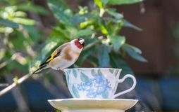 Goldfinch on a teacup royalty free stock images