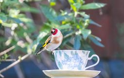 Goldfinch on a teacup stock photography