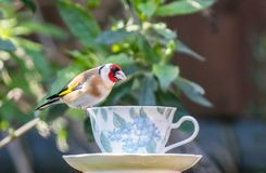 Goldfinch on a teacup stock images
