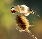 Goldfinch on Teasel Stock Image