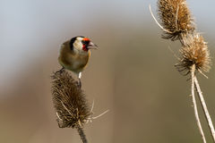 Goldfinch on teasel Stock Photos