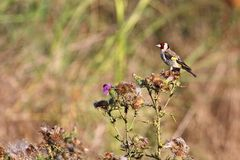 Goldfinch on the Thistle Royalty Free Stock Photography