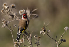 Goldfinch on a Thistle. A goldfinch is perching on a thistle royalty free stock photo