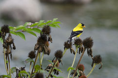 Goldfinch on thistle Stock Photo