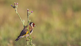 Goldfinch on Thistle royalty free stock image