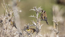 Goldfinch on Thistle royalty free stock photography