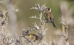 Goldfinch on Thistle royalty free stock photos