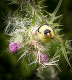 Goldfinch on Thistle Stock Images