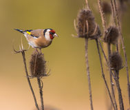 Goldfinch on Thistle plant. A Goldfinch (Carduelis carduelis) feeds on a Thistle plant Stock Images