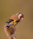 Goldfinch on Thistle plant Stock Images