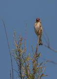 Goldfinch on the tip of a branch Royalty Free Stock Photos