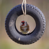 Goldfinch in tire Royalty Free Stock Photography