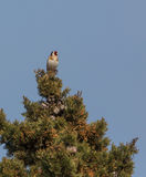 Goldfinch on top of a tree Royalty Free Stock Photography