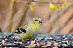 Goldfinch Transitioning   to Summer Plumage Royalty Free Stock Images