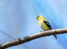 Goldfinch Transitioning   to Summer Plumage Royalty Free Stock Photo