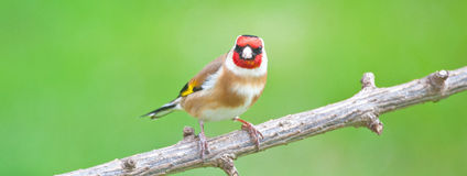 Goldfinch on tree branch Stock Images