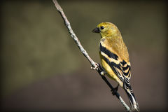 Goldfinch. Very detailed and sharp goldfinch sitting majestically on a single branch and a nice blurred background Stock Photography