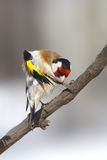 The Goldfinch washing on the branch. Royalty Free Stock Photo