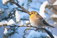 Goldfinch in Winter Stock Photos