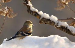 Goldfinch during winter Stock Image