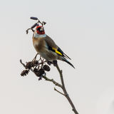 Goldfinch & x28;Carduelis carduelis& x29; perched on branch Royalty Free Stock Photo
